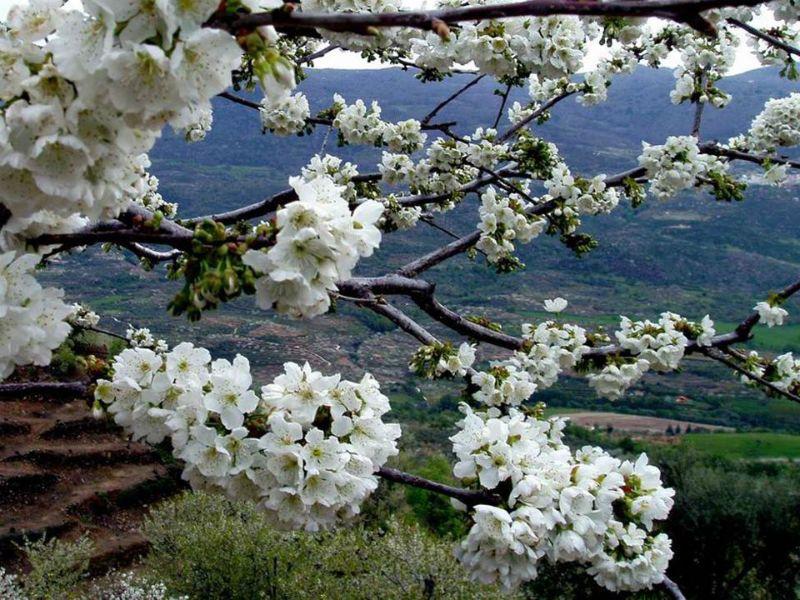 Cerezo en flor en el valle del jerte 2018 for Oficina de turismo valle del jerte